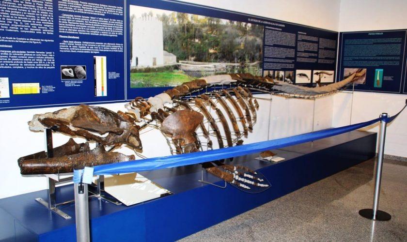 Sevilla.- 'Paisajes con Letras' conmemora la llegada de los fósiles de la ballena al museo de Alcalá de Guadaíra