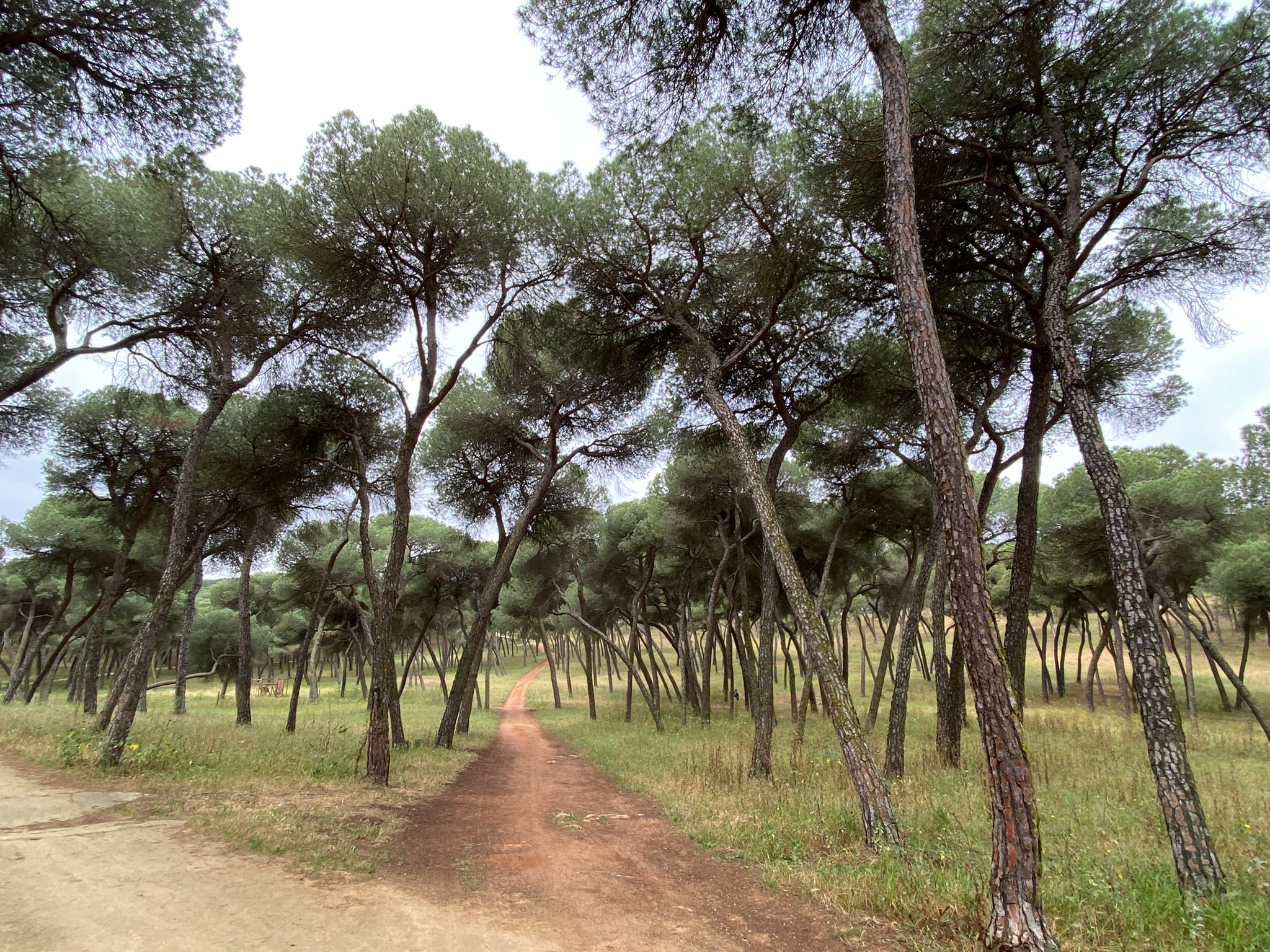 Pinar oromana